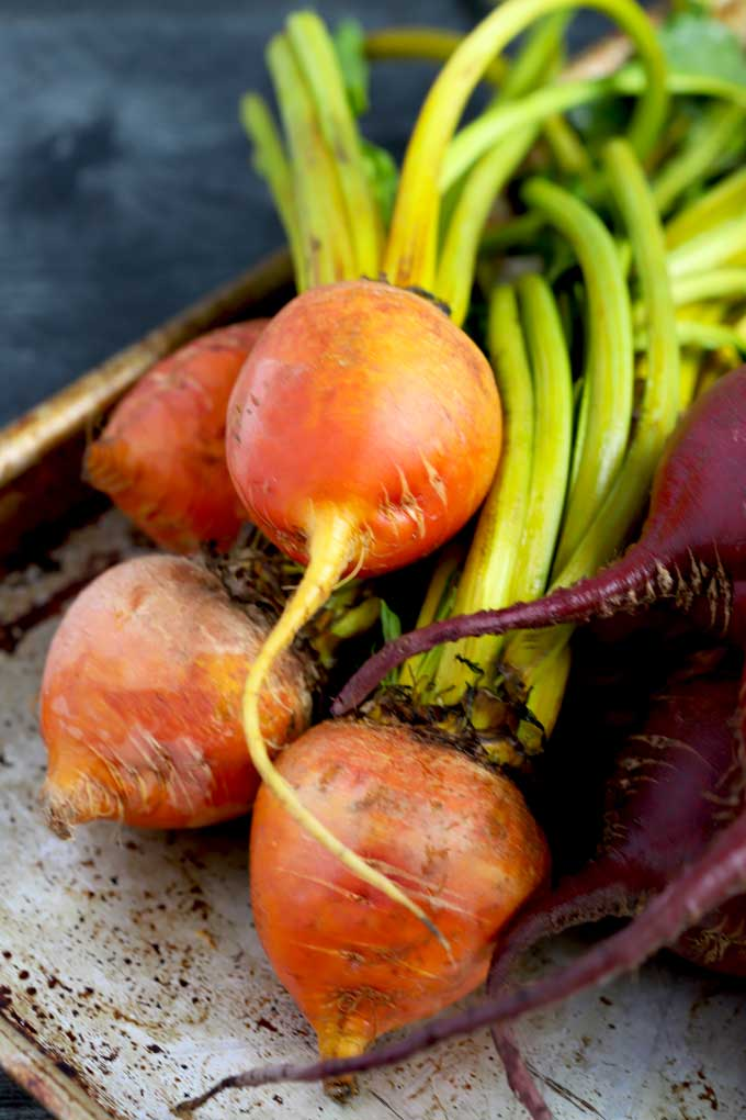 Golden and red beet bunches on a metal surface